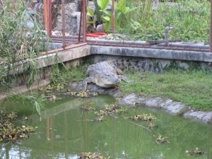 Crocodile at Crocolandia