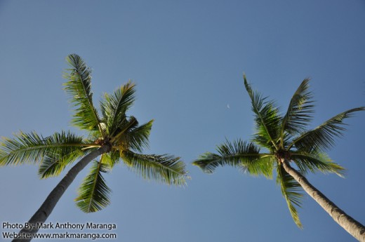 Coconut trees as Lovers