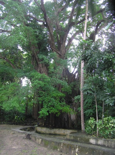 Century-old Enchanting Tree