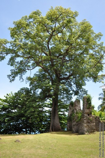 Century old tree near the ruins of the convent