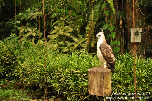 A young Philippine Eagle