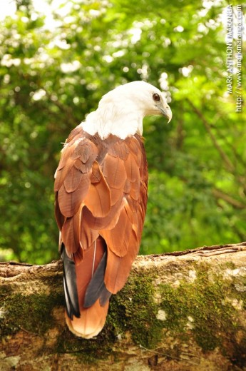 Free-flying eagle at the Philippine Eagle Center