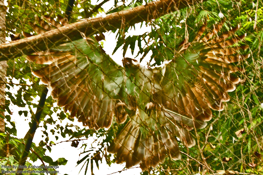 Philippine eagle wings