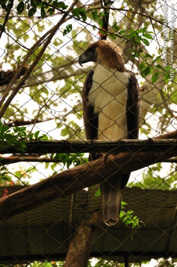 Philippine Eagle in a Cage
