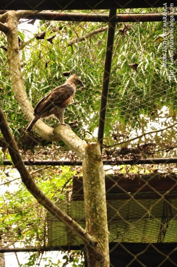 Pinsker's Hawk Eagle