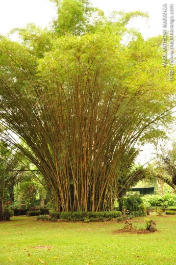 Tall set of Bamboos