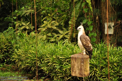 Young Philippine Eagle