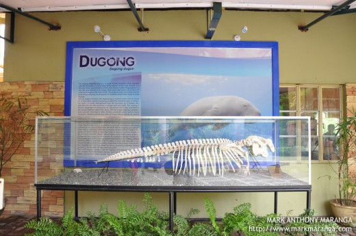 Skeleton of a Dugong