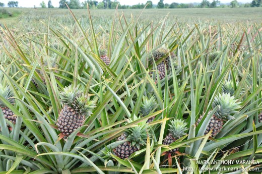 Near ripe pineapples