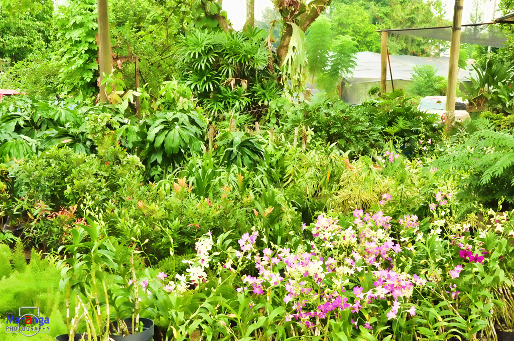Diffe kinds of ornamental plants in the philippines life for Design of ornamental plants