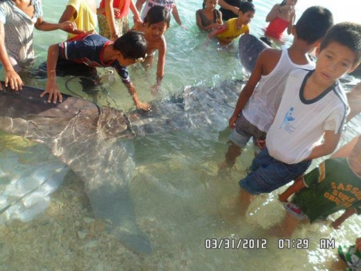 Rope tied on the tale of the Whale Shark