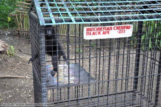 Indonesian Chimpanzee
