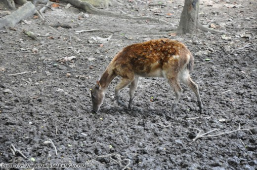 A young Philippine Spotted Deer