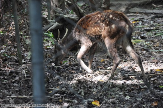 Adult Philippine Spotted Deer
